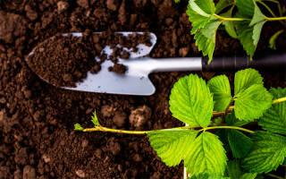 В какую почву сажать клубнику