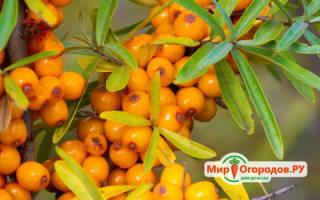 Как правильно собирать ягоды облепихи