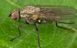 Как избавиться дома от луковой мухи