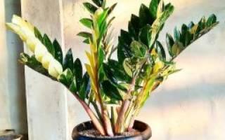 Домашний цветок замиокулькас как ухаживать