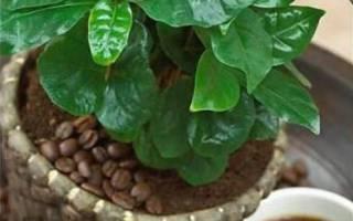 Домашний цветок кофе как ухаживать