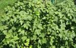 Как обновить куст смородины