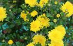 Где сажать хризантемы на солнце или в тени