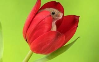 Как защитить тюльпаны от мышей зимой