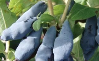 Как подкормить осенью жимолость