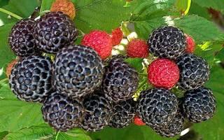 Как называется ягода похожая на ежевику