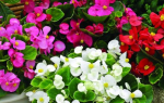 Бегония цветок как ухаживать