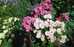 Как подготовить розы к зиме в лен обл