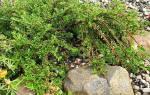 Как вырастить кизильник блестящий из семян