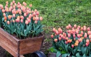 Все о тюльпанах когда и как сажать