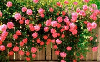 Все о розах в саду с картинками