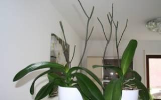 Как правильно подрезать орхидею после цветения