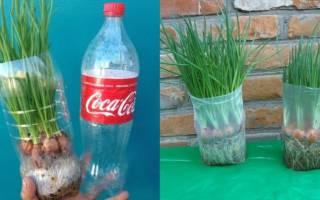 Как быстро вырастить зеленый лук в домашних условиях