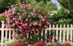 Как и когда сажать плетистую розу