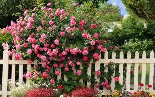 Как правильно сажать розу плетистую