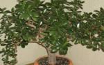 Как обрезать денежное дерево если оно сильно заросло