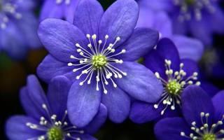 Голубые цветы как называются
