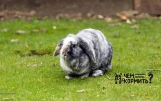 Как кормить вислоухого кролика