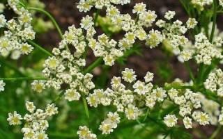 Как вырастить тмин из семян