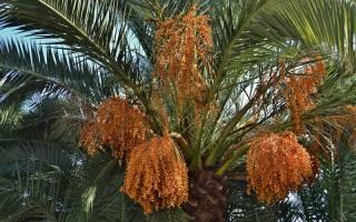Как выглядит финиковая пальма в домашних условиях