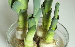 Как и когда выращивать лук порей
