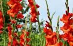 Как правильно обрезать гладиолусы после цветения