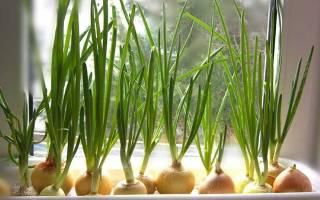 Как выращивать зеленый лук на подоконнике