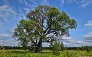 Вяз как выглядит дерево