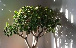 Как подстричь денежное дерево