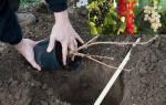 Как и когда сажать черную смородину осенью