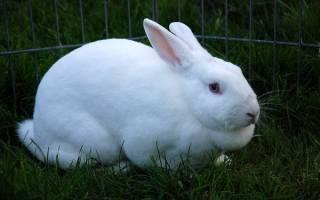 Как помочь кролику при вздутии живота дома