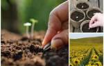 Как вырастить подсолнух из семечки дома