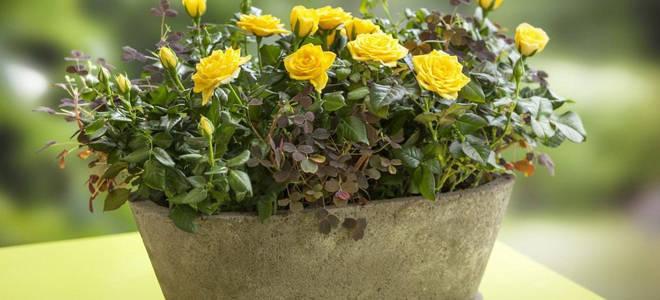 Как поливать розу комнатную в домашних условиях
