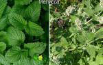 В чем разница между мелиссой и мятой