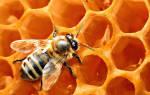 Как мед пчела делает мед
