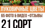 Как называется цветок из луковицы