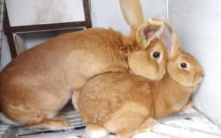 Как правильно скрещивать кроликов