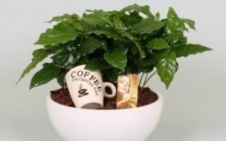 Как правильно ухаживать за кофейным деревом в домашних условиях