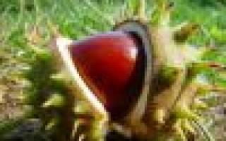 Как вырастить каштановое дерево из ореха