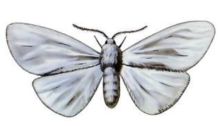 Белая бабочка с черными точками на крыльях