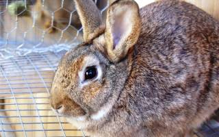 Как остановить понос у кролика