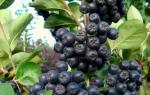 Как правильно пересадить черноплодную рябину осенью