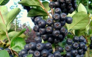 Как пересадить рябину черноплодную рябину