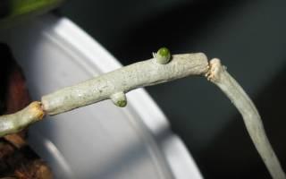 Как вырастить из корня орхидею