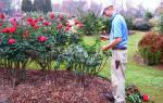 Как подготовить розу к зиме обрезка и подкормка