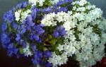 Домашний цветок с цветами как колокольчики