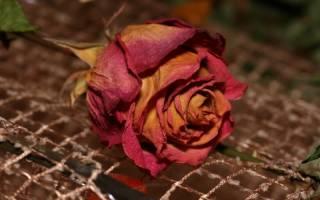 Как засушить розы чтобы они не потеряли цвет и форму