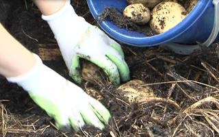 Как правильно отобрать семенной картофель