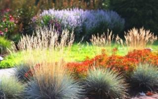 Как вырастить овсяницу сизую из семян в домашних условиях