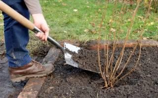Как осенью ухаживать за кустами смородины
